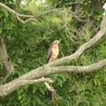 サシバ若鳥