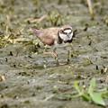 Photos: 休耕田で餌を探すコチドリ