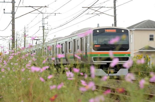 秋桜の宇都宮線