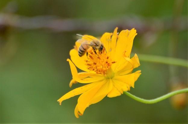 キバナコスモスにハチ