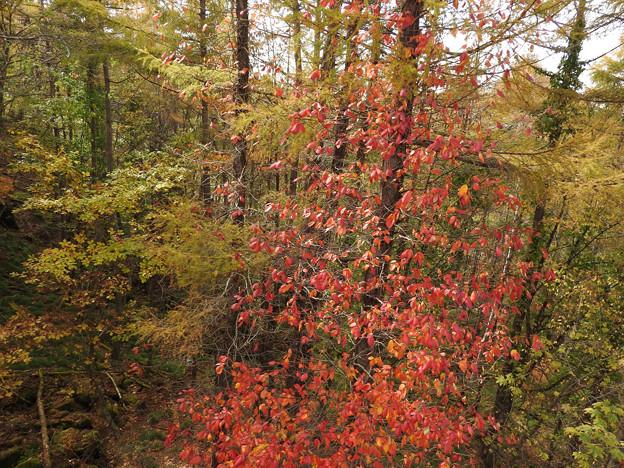 カラマツ黄葉とツタ紅葉