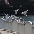 Photos: ユリカモメ