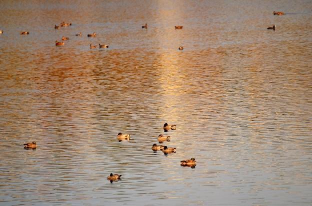 秋色の水面にヨシガモの群れ