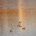 Photos: 秋色の水面にヨシガモの群れ