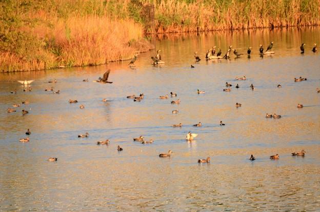 秋色の水面にオカヨシガモとカワウの群れ