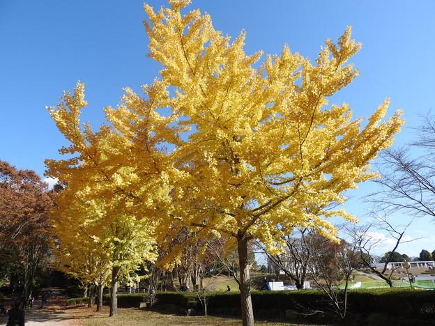 井頭公園の銀杏黄葉
