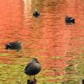紅葉映す水面