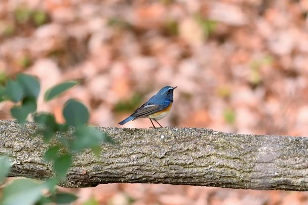夕暮れ色の林に青い鳥