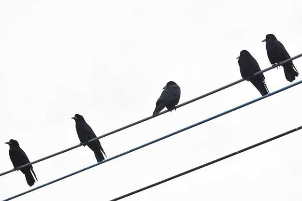 電線に冬鳥ミヤマガラス