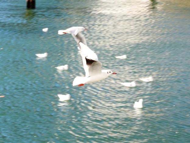 Photos: 川面を飛ぶユリカモメ