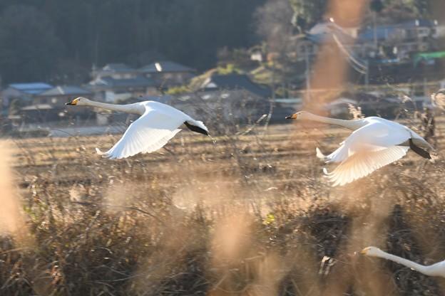 Photos: 飛び去るオオハクチョウ