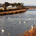 川面に集まる白鳥たち