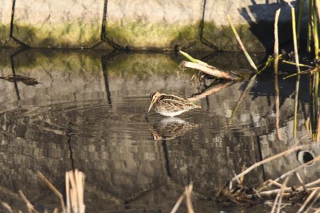 Photos: 令和2年初鳥撮りはタシギ