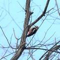 高い枝にアカゲラ