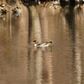 Photos: いつもの公園池にカワアイサ