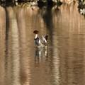 Photos: 羽を広げるカワアイサ