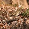 Photos: 林の落ち葉にトラツグミ
