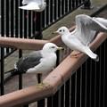 Photos: ウミネコとユリカモメ若鳥