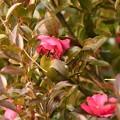 Photos: 花の蜜 大好き メジロ
