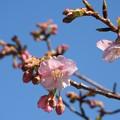 Photos: 河津桜開花