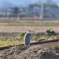 冬の田んぼにアオサギ
