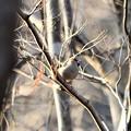 枯れ枝にシメ