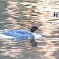 夕陽色の水面にカワアイサ
