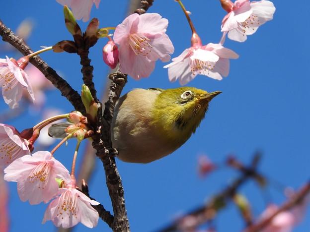 青空 メジロ 河津桜