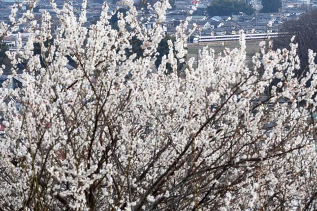 白梅満開の富士山公園から望む