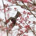 咲く花のなか飛び立つヒヨドリ