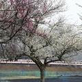梅咲き小雪模様の武日光線 6050系