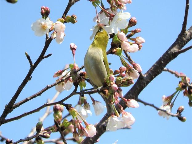 桜の蜜を吸うメジロ