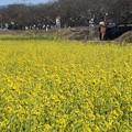 Photos: 菜の花沿線