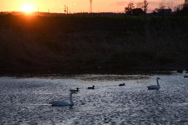 Photos: 夕陽と渡り直前のコハクチョウ