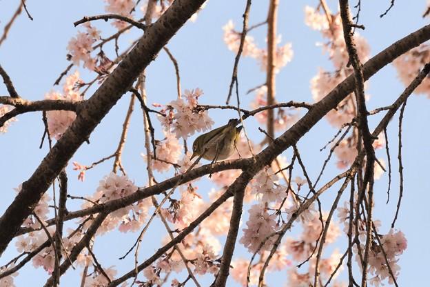 里枝垂れ桜メジロ