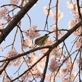 Photos: 里枝垂れ桜メジロ
