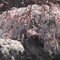 Photos: つがの里の枝垂れ桜