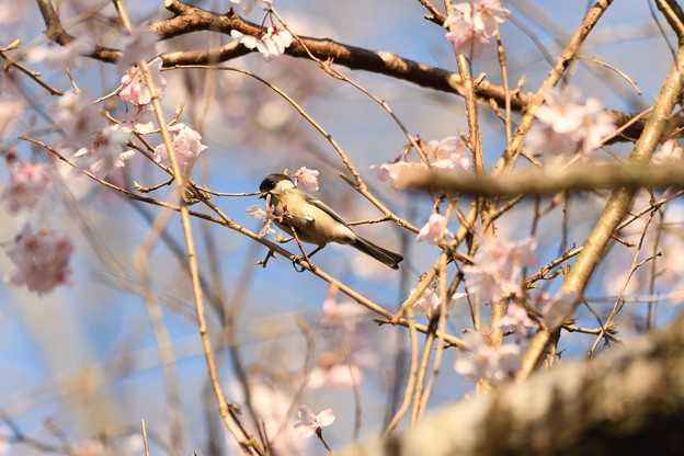 彼岸桜とシジュウカラ