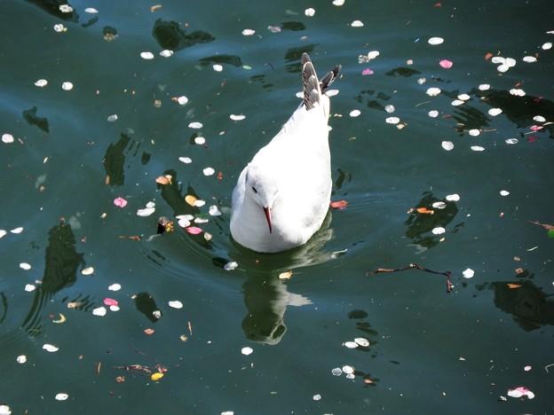 桜花浮かぶ水面にユリカモメ