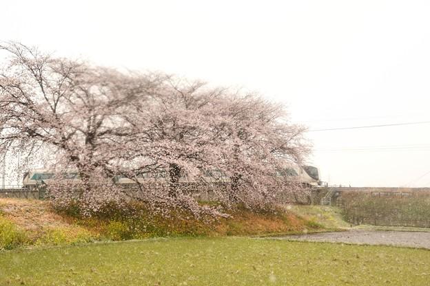 なごり雪の思川桜堤