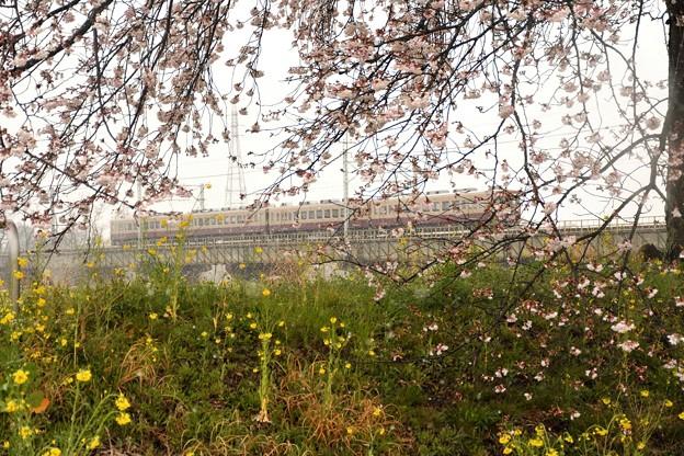 菜の花の桜堤を行く東武6050系リバイバル色