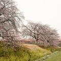 Photos: 菜の花・桜・なごり雪・赤い特急