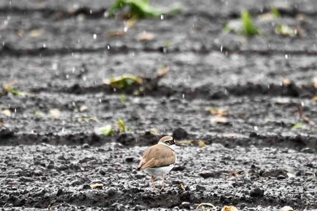 雪降る畑に今季初のコチドリ