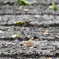 Photos: 雪降る畑に今季初のコチドリ