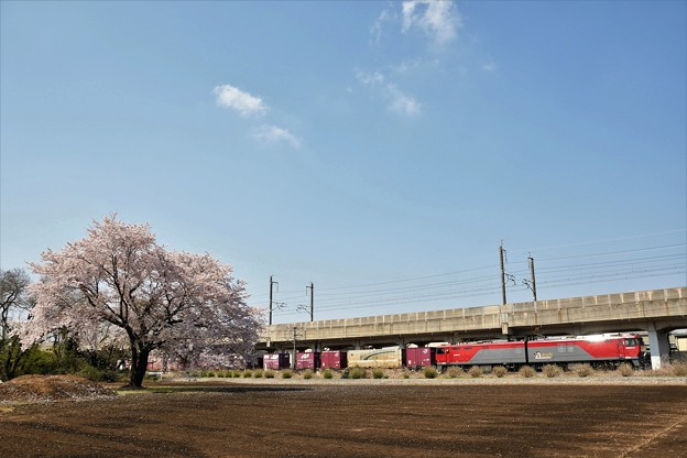 金太郎貨物と一本桜