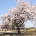 一本桜咲く宇都宮線を行く金太郎