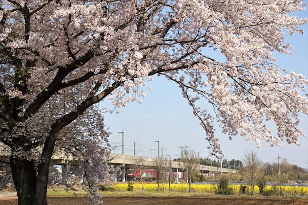 Photos: 桜と菜の花咲く宇都宮線の金太郎貨物
