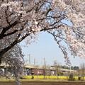 桜と菜の花咲く宇都宮線の金太郎貨物