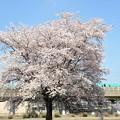 Photos: 一本桜とE5系