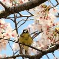 桜花びらゲット♪